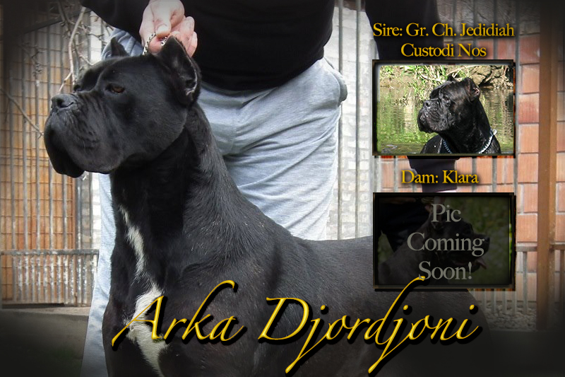 old world cane corso arka custodi nos