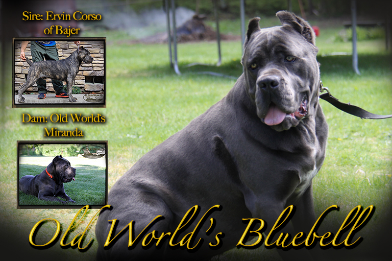old world cane corso bluebell
