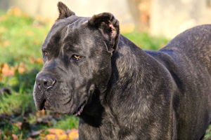 old world cane corso ervin