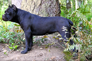 cane corso rustic old world