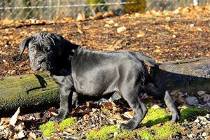 cane corso puppies rustic import washington state