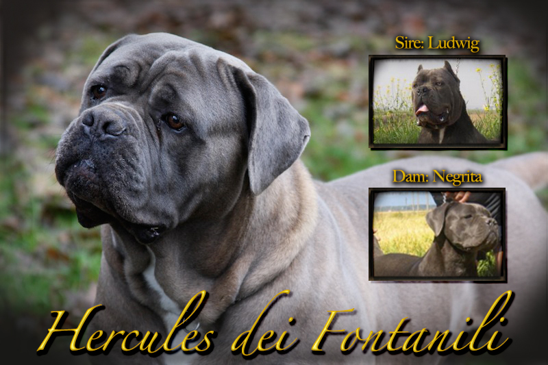 cane corso, breeder, cane corso puppies, old world