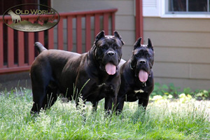 cane corso old world