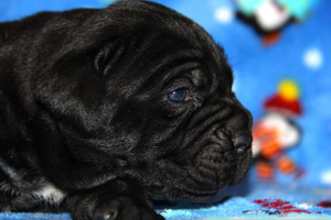 cane corso puppies old world