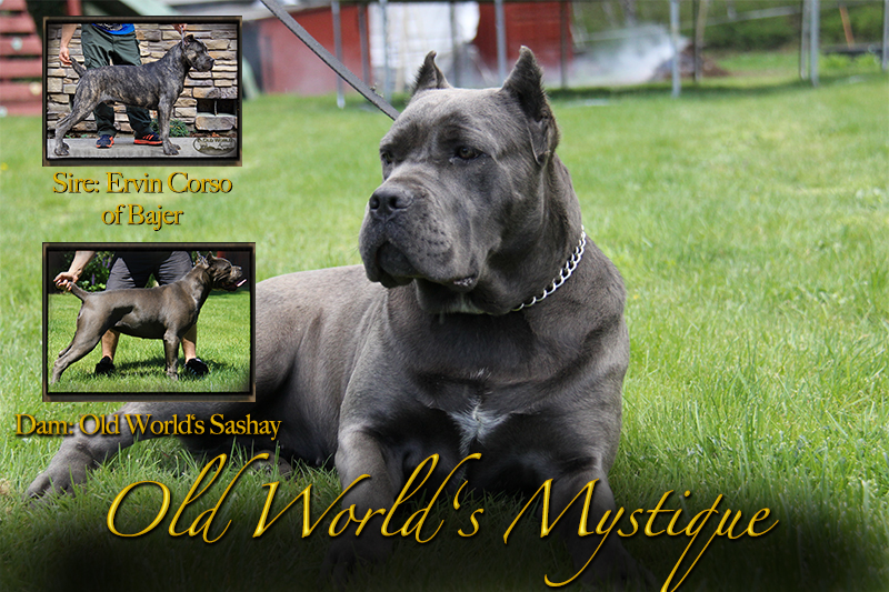 blue cane corso old world