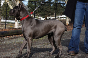 willow blue cane corso old world