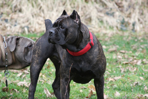 old world cane corso mastiff