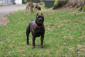 Cane Corso Mastiff Old World