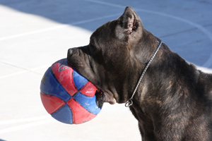 cane corso breeder blue washington
