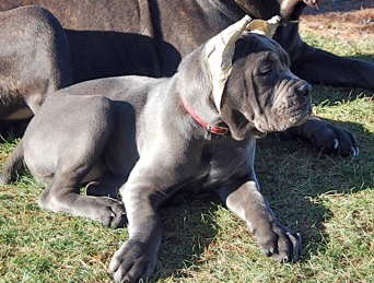 old world cane corso willow