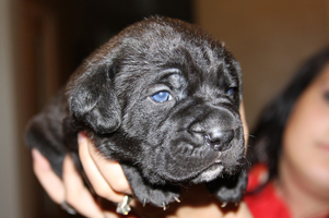 old world cane corso puppy