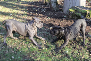 cane corso for sale old world