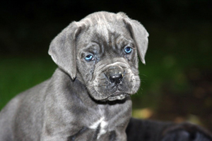 cane corso old world puppies
