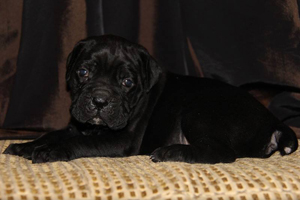 old world cane corso
