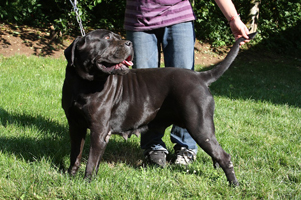 cane corso breeders puppies old world