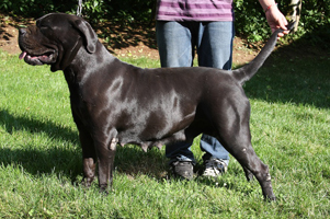 cane corso puppies breeders old world
