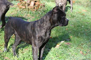 old world cane corso shade